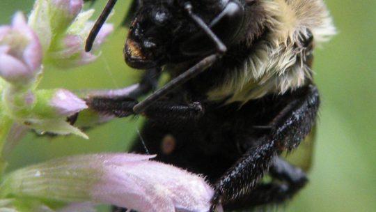 Operation Pollination at AMNHA