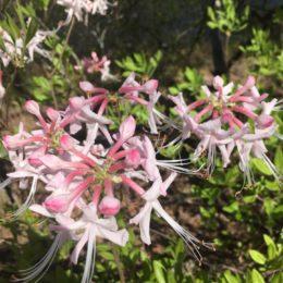 diamorphia in bloom on mountain