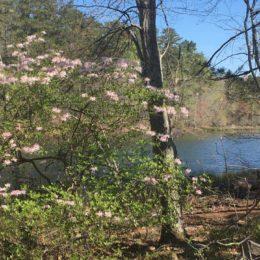 diamorphia in bloom on panola mountain