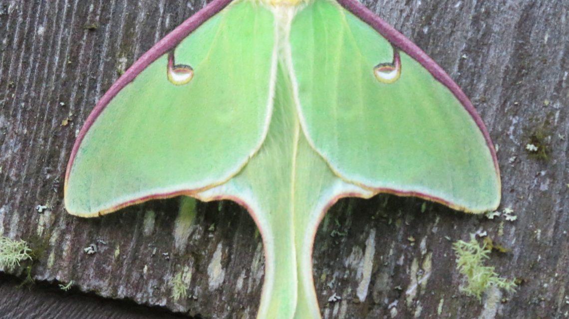 It's National Moth Week!