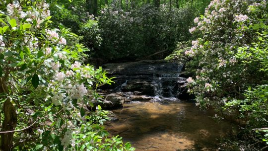 Mountain Laurel: April Showers Brought May Flowers to Arabia Mountain