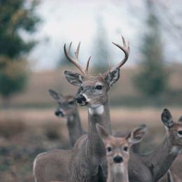 Deer often gather in the meadow