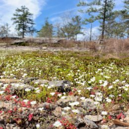 field of flowers and monadnock