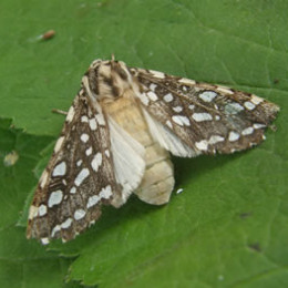 Owlet moth resting during the day.